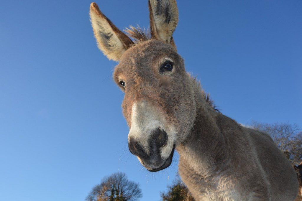 donkey, head ass, domestic animal